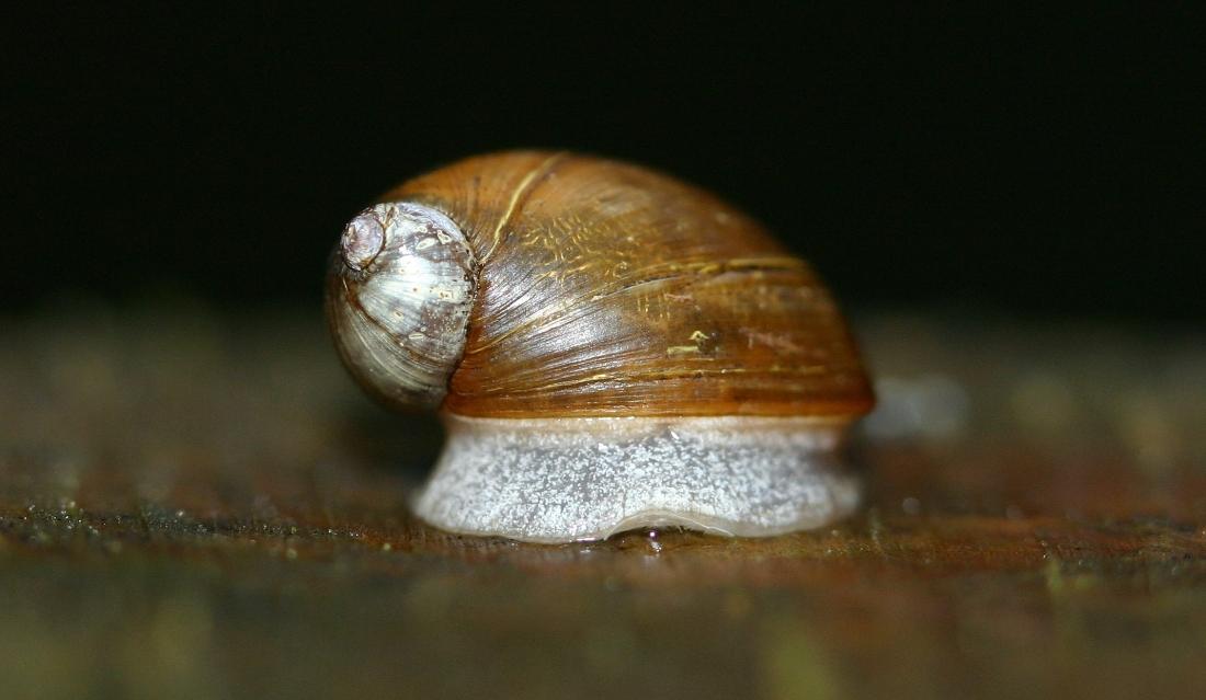 Amber Snail (Succinea)