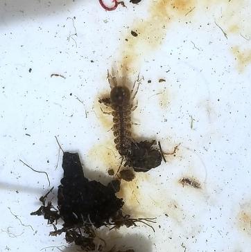 An isopod (Caecidotea)