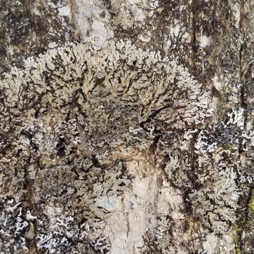 Frost Lichen (Physconia sp.) on a black ash tree