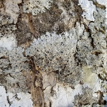 Powdered Fringe Lichen (Heterodermia speciosa) on a black ash tree.