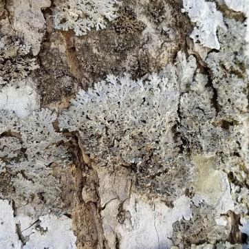 Powdered Fringe Lichen (Heterodermia speciosa) on a black ash tree.