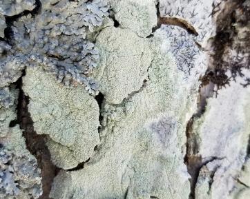 Four lichens: Script Lichen (Graphis scripta in upper right) and three unknowns.
