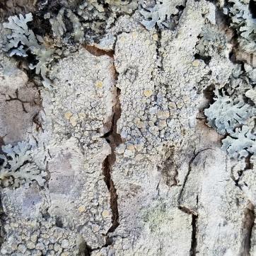 Saucer Lichen (Ochrolechia trochophora) on a black ash tree.
