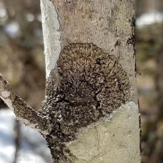 Shadow Lichen (Phaeophyscia orbicularis?) on a sapling black ash tree.