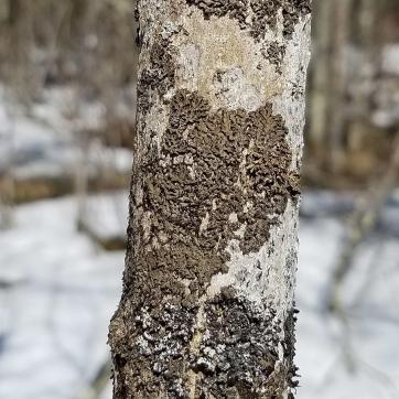 Shadow Lichen (Phaeophyscia sp.) on a sapling black ash tree.
