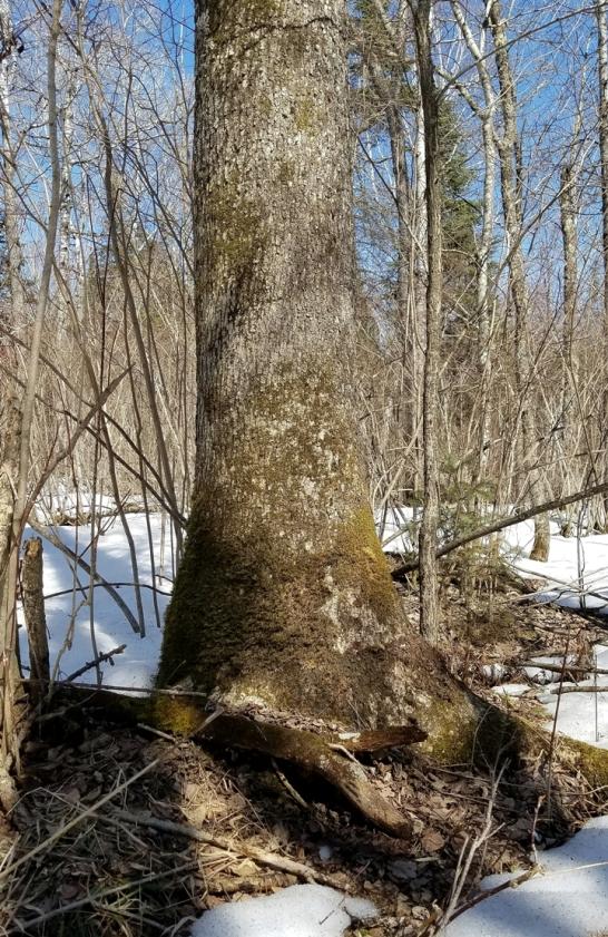Large diameter black ash tree.