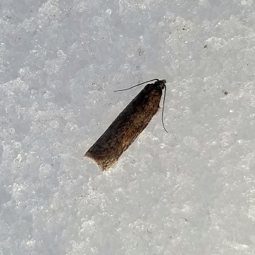 An unknown moth species.