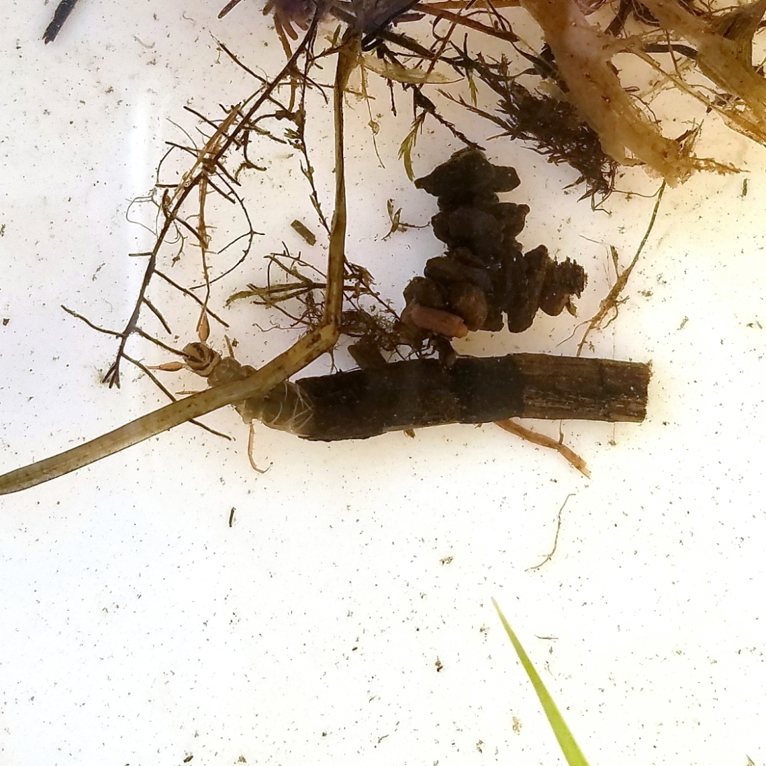 Caddisfly larvae (Ptilostomis in the tubular case) and a smaller unidentified species.