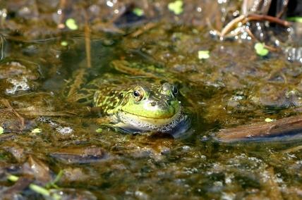 Mink Frog (Lithobates septentrionalis)