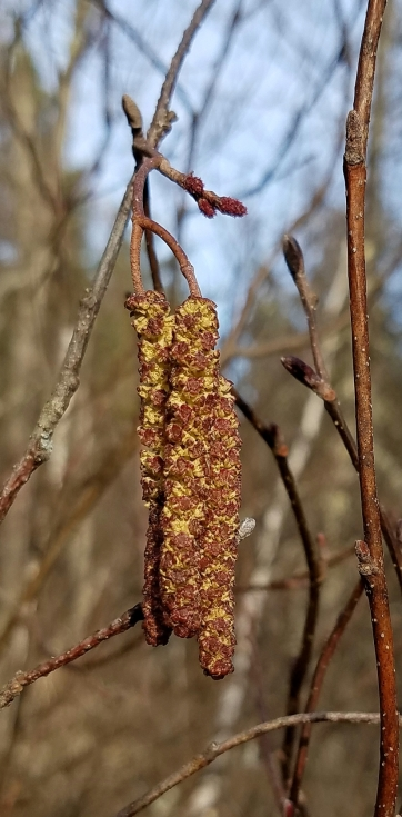 Tag alder staminate catkins ready to bloom and spread pollen. Smaller pistillate flowers are just above them.