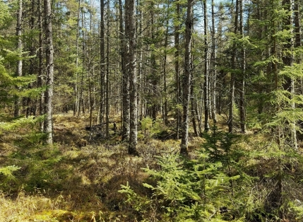 No snow in the tamarack swamp. April 21, 2017