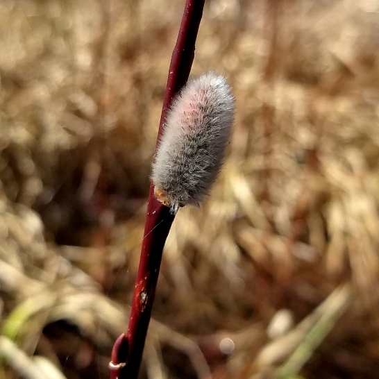 Tea-leaf willow catkin with a blush of red just a few days before blooming.
