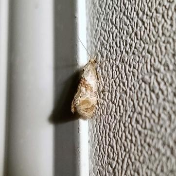 Unknown micro-moth (Subfamily Olethreutinae?)