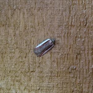 Tortriciodae Tortricid Moths