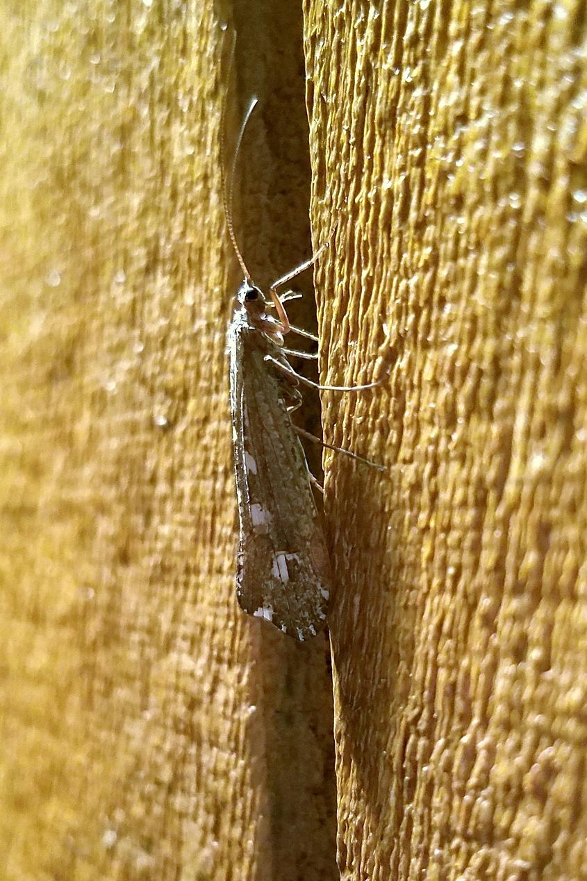Glyphopsyche irrorata