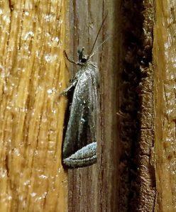 Noctuidae Owlet Moths