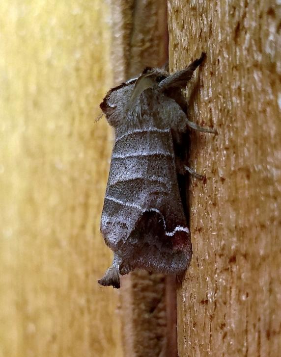 Simoid Prominent (Clostera albosigma)