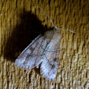 Norman's Quaker Moth (Crocigrapha normani)