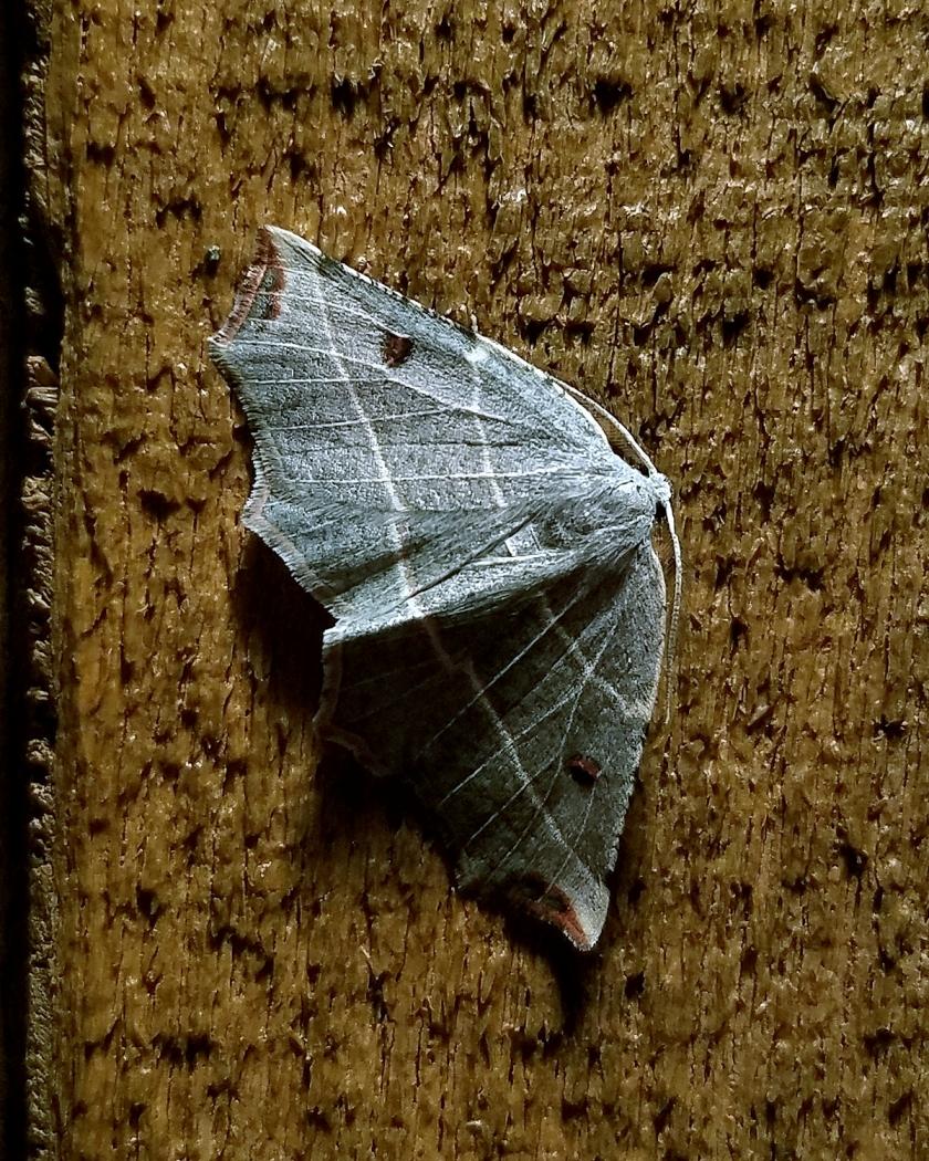 Pale Metanema (Metanema inatomaria)