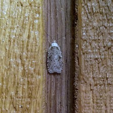 Agonopterix canadensis (?)