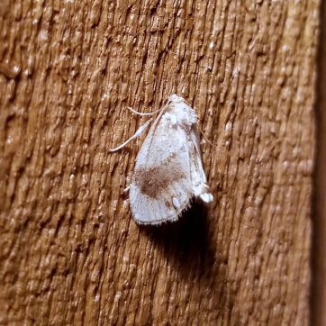 Packardia geminata Jeweled Tailed Slug Moth