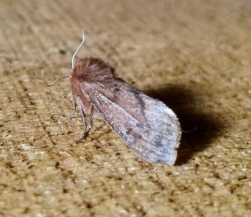 Large Ruby Tiger Moth (Phragmatobia assimilans)