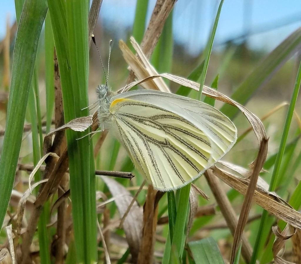Mustard White Butterfly (Pieris oleracea)