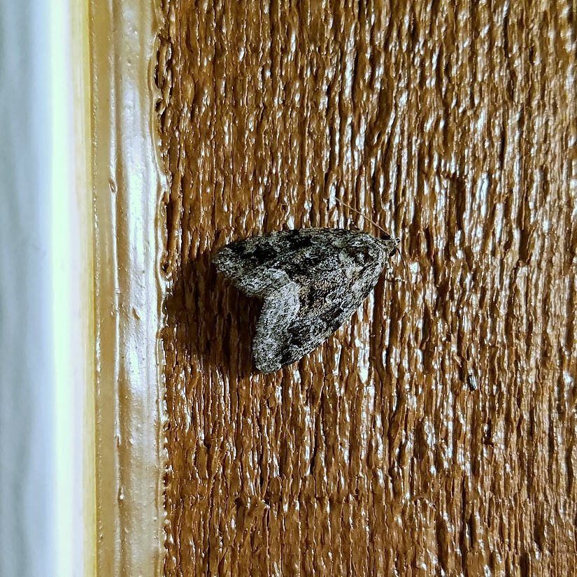 Protodeltote muscosula Large Mossy Lithacodia Moth
