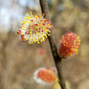 Prairie willow staminate flowers (Salix humilis)