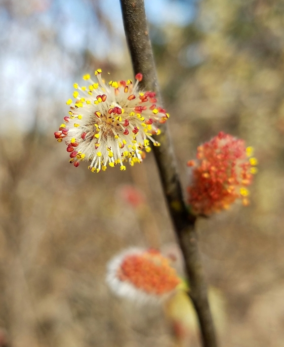 Prairie willow staminate flowers (Salix humilis)