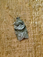 Gray Leafroller (Syndemis afflictana)