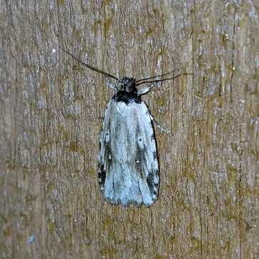 Agonopterix atrodorsella (Family Depressariidae), possible new record for the state. Seen on May 24, 2018.