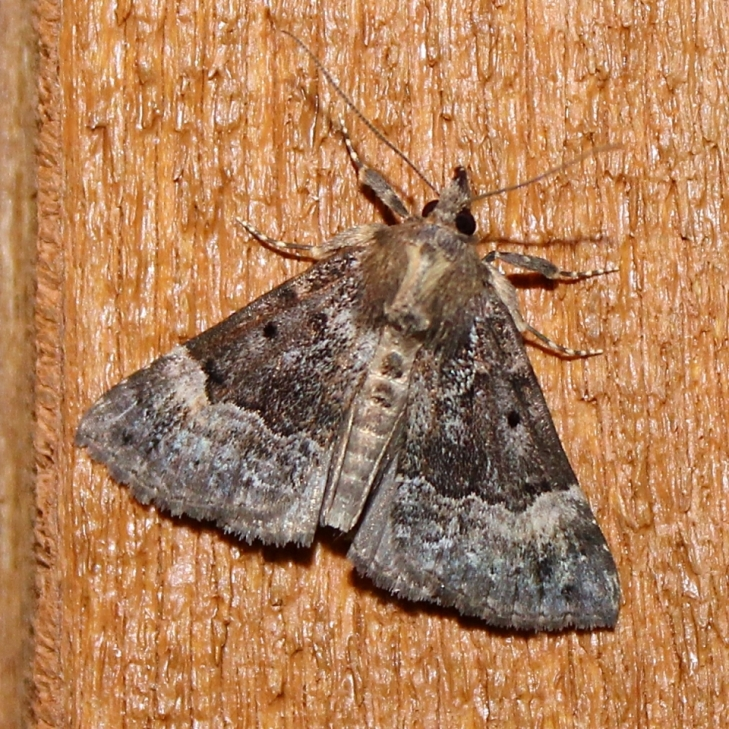 Hypena palparia (Family Erebidae), possible new record for the state. Seen on June 16, 2018.