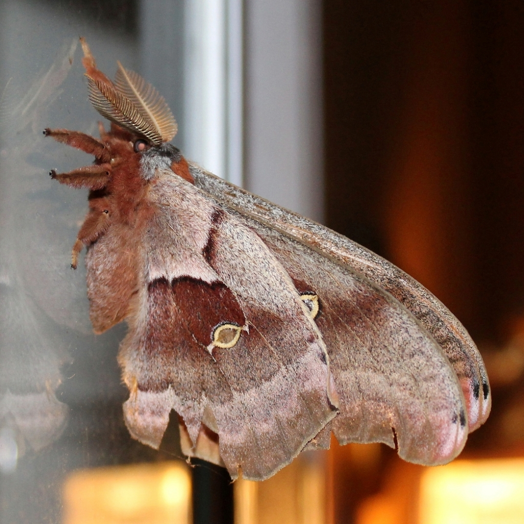 Antheraea polyphemus silk moths
