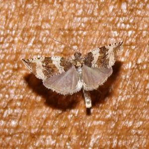 Olethreutes valdanum