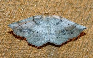 Prochoerodes lineola