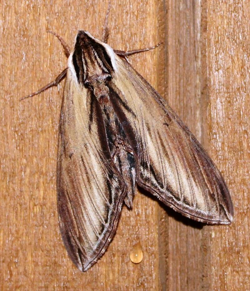 Sphinx kalmiae Laurel Sphinx Sphinx Moth