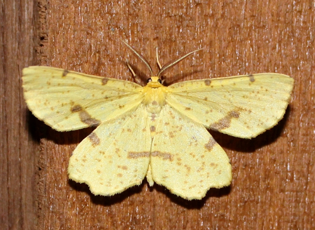 Xanthotype sp, one of three species found here and nearly impossible to tell apart from a photo alone.
